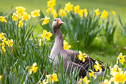 "© Licensed to London News Pictures. 25/03/2021. London, UK. A goose enjoys the spring flowers and sunshine in St James's Park London, this morning as weather forecasters predict that next week the South East will be warm with highs of 20c. On Monday 29 March, the ""Stay at Home"" advice will end with people allowed to meet up within the ""rule of six"". Playing golf, tennis and organised outdoor sports will also be allowed. Photo credit: Alex Lentati/LNP"