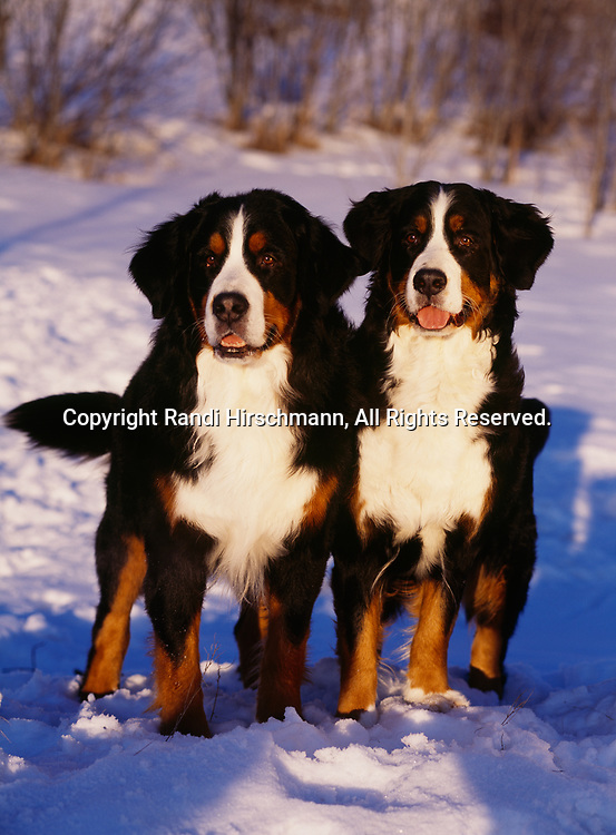 Bernese Mountain Dogs, AKC, photographed at Kepler Lake near Palmer, Alaska and owned by Tracy Hopper of Wasilla, Alaska.  (PR)