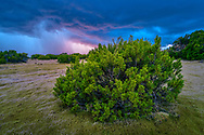 Oceania, New Zealand, Aotearoa, South Island, Te Anau, Halocarpus bidwillii, bog pine tree reserve