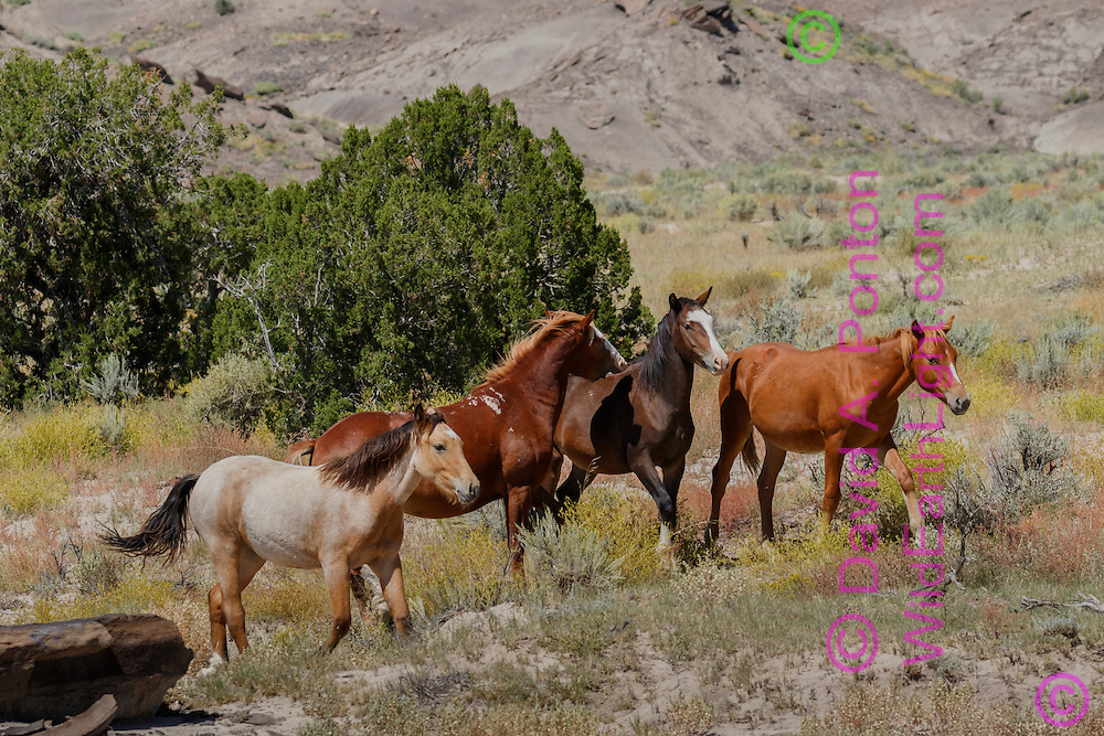 Free-ranging horses walking through sage-juniper grassland in northwestern New Mexico, © David A. Ponton