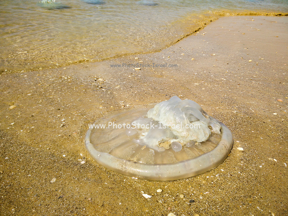 Jellyfish washed onto the beach. Photographed in Haifa, Israel