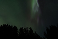 The aurora borealis over Sitka spruce trees