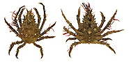 Four-horned Spider Crab - Pisa tetradon