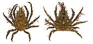 Four-horned Spider Crab - Pisa tetradon