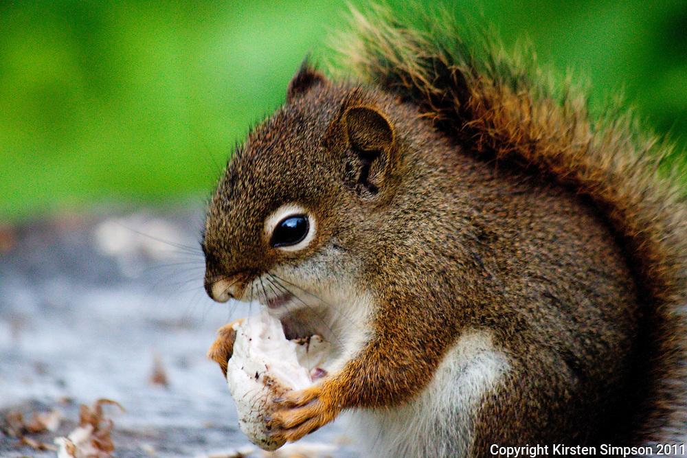 Squirrel at Kicking Horse