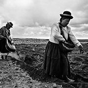 Planting seed potatoes. Bolivian Altiplano.