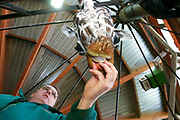 A zoo-keeper feeds a giraffe at Marwell Zoo, Marwell near Winchester, UK
