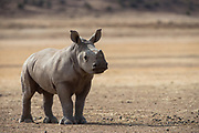 White Rhinoceros calf (Ceratotherium simum)<br /> Great Karoo<br /> Private Reserve<br /> SOUTH AFRICA<br /> Endangered species