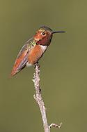 Allen's Hummingbird - Selasphorus sasin - Adult male