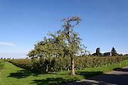 Nonnenhorn, Obstbäume, Bodensee, Bayern, Deutschland