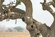A family group of Leopards rests in a tree on the Serengeti plains
