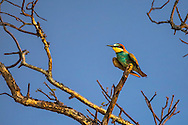 The Bee Eater is a very colorful group of birds consisting of about 26 different species Many consider them to be among the most beautiful birds.  I can't disagree.