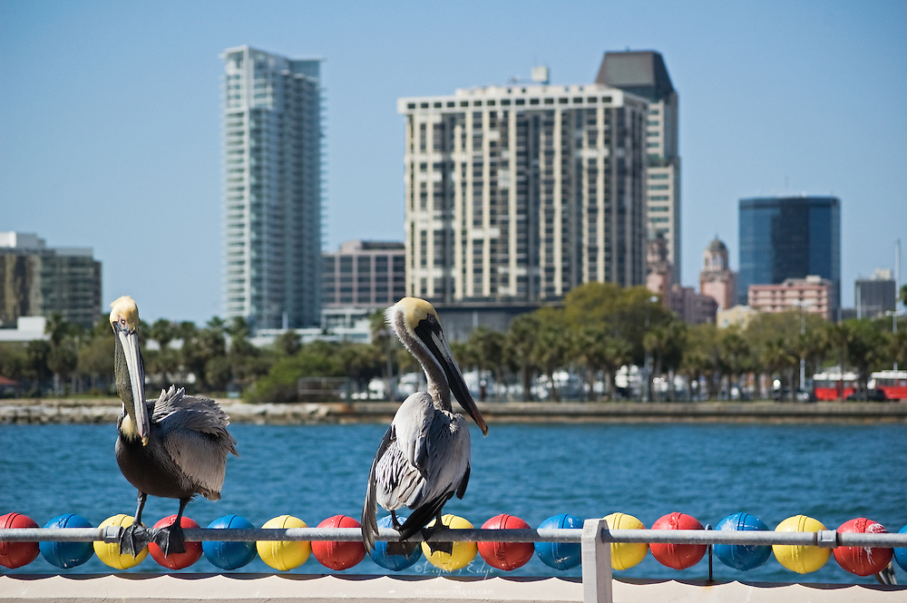 """Two pelicans sit on a rail at """"The Pier"""" in St. Petersburg, Fl."""
