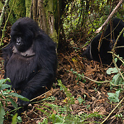 Male and female silverback mountain gorilla in Volcanoes National Park, Africa.