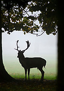 A fallow deer buck (Dama dama) standing silhouetted under trees on the Holkham Estate Norfolk on a early misty morning in October during the rutting season