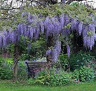 Purple Japanese Wisteria (Wisteria floribunda) blossoms
