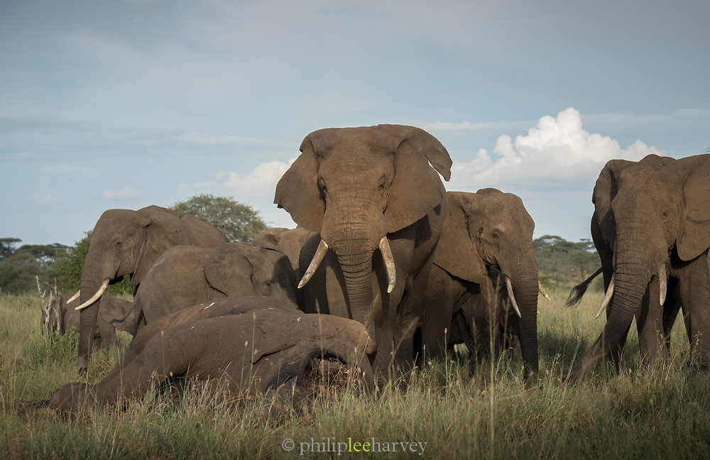Nature photograph of a herd of African elephants (Loxodonta africana) mourning a dead elephant, Serengeti National Park, Tanzania