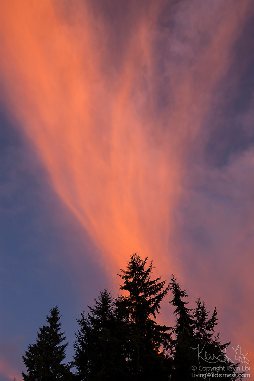Fiery cirrus clouds appear to erupt from the top of a Douglas fir tree in Snohomish County, Washington, at sunset.