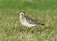 Buff-breasted Sandpiper - Tryngites subruficollis