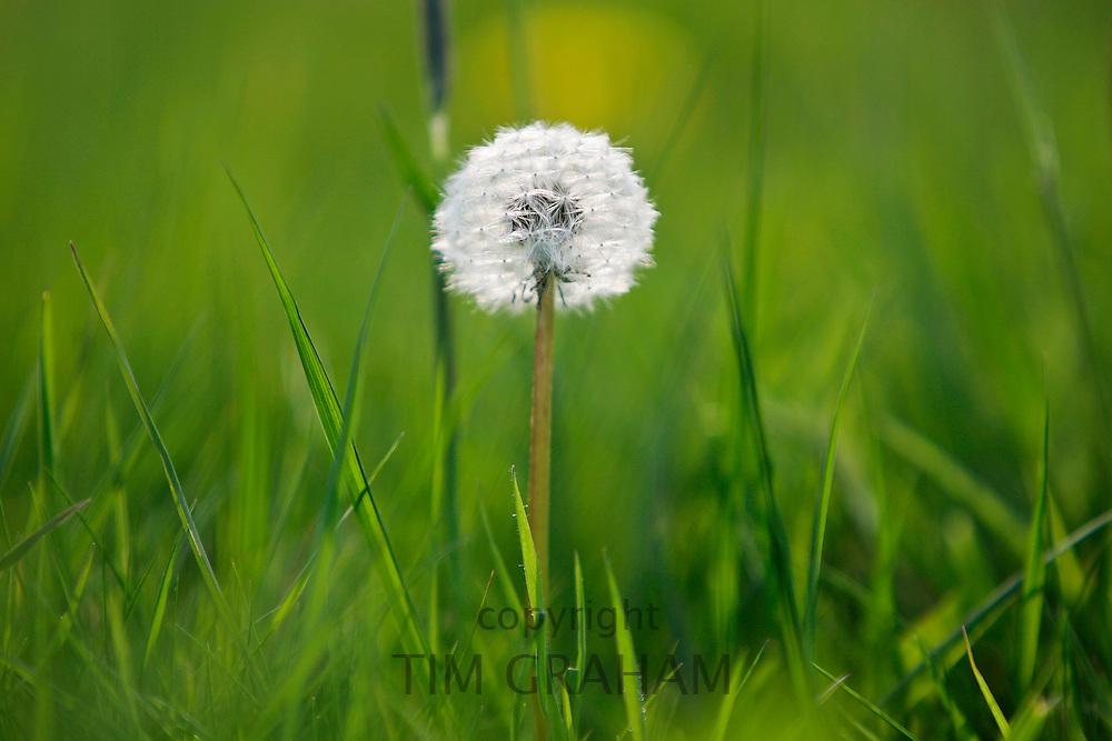 Dandelion clock growing in a meadow, England