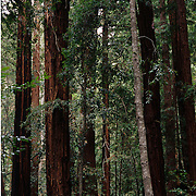 Mighty redwood trees in Big Sur, CA.