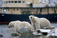 Polar bear (Ursus maritimus) duo with tourist ship in background, Svalbard, Norway.