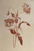Papaver somniferum, (opium poppy) Red chalk on paper by Nicolas Robert from Sketchbook A at the Jardin Du Roi, Paris c 1650
