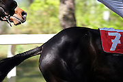 Lysa nad Labem/Tschechische Republik, Tschechien, CZE, 01.05.07: Detail von zwei Pferden auf der Pferderennbahn in Lysa nad Labem während dem traditionellen und jährlichen Eröffnungsrennen.<br /> <br /> Lysa nad Labem/Czech Republic, CZE, 01.05.07: Detail of two horses during the traditional opening of the horse racing season in Lysa nad Labem.