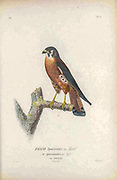 The American kestrel (Falco sparverius [Here as Falco sparveroides])  is the smallest and most common falcon in North America. From the book Histoire physique, politique et naturelle de l'ile de Cuba [Physical, political and natural history of the island of Cuba] by  Sagra, Ramón de la, 1798-1871; Orbigny, Alcide Dessalines d', 1802-1857 Publication date 1838 Publisher Paris : A. Bertrand