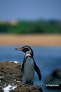 Galapagos penguin, Spheniscus mendiculus, endemic to the Galapagos Islands, Ecuador, ( Eastern Pacific )