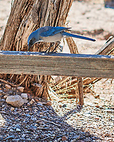 Woodhouse's Scrub-Jay (Aphelocoma woodhouseii). Kasha-Katuwe Tent Rocks National Monument, New Mexico. Image taken with a Nikon D3x camera and 85 mm f/1.4 lens.