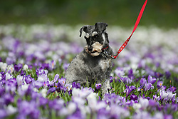 © Licensed to London News Pictures. 15/03/2017. Leeds, UK. A woman walks her miniature schnauzer through a patch of colourful crocuses on a warm and sunny spring day at Roundhay Park in Leeds, West Yorkshire.Photo credit : Ian Hinchliffe/LNP