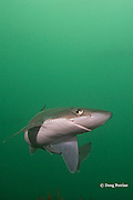 spiny dogfish, piked dogfish, spurdog, or dog shark, Squalus suckleyi (formerly Squalus acanthias ), Quadra Island off Vancouver Island, British Columbia, Canada, ( North Pacific Ocean )