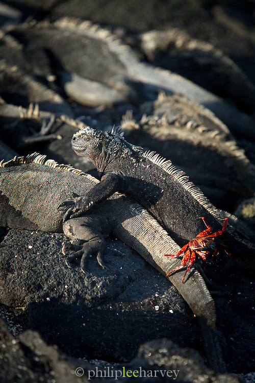 A Sally Lightfoot crab on Marine Iguanas, North Fernandina Island, Galapagos, Ecuador, South America