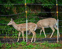 Deer outside the electric fence.  Image taken with a Fuji X-T2 camera and 100-400 mm OIS lens (ISO 1600, 100 mm, f/6.4, 1/45 sec)
