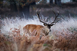© Licensed to London News Pictures. 04/11/2020. London, UK. A deer stag in a frost covered landscape at sunrise in Richmond Park, south west London on a cold Autumn morning. Photo credit: Ben Cawthra/LNP