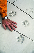 Climber's hand with snow leopard pug marks in silt, Shaksgam river, Karakoram mountains, far western China, Central Asia.