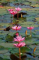 Thailande, province de Sukhothai, parc archeologique de Sukhothai, Patrimoine mondial de l'UNESCO, Wat Mahatat, lotus // Thailand, Sukhothai, Sukhothai Historical Park, World Heritage by UNESCO, Wat Mahatat, lotus