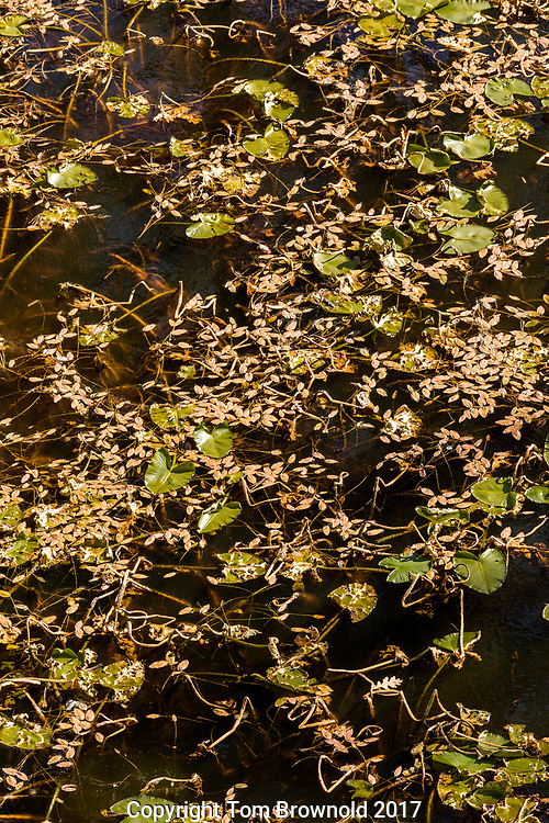 Pomroy tanks' Lily pads transitioning inot autumn, the Sycamore trail on the Mogollon rim