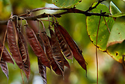 Seedpods of a Judas Tree Cercis siliquastrum Photographed in Israel in September