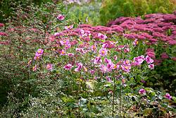 Anemone hupehensis - Japanese anemone - in front of Sedum 'Autumn Joy' syn. Sedum Herbstfreude Group 'Herbstfreude'