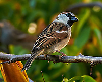 House Sparrow (Passer domesticus). St. Petersburg, Florida. Image taken with a Nikon D300 camera and 200 mm f/2.0 VR lens.
