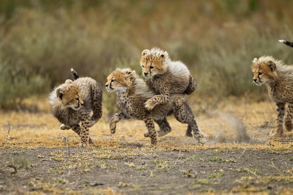 Tanzania, Ngorongoro Conservation Area, Ndutu Plains, Four Cheetah cubs (Acinonyx jubatas) running and playing on savanna