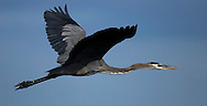 KEVIN BARTRAM/The Daily News.A heron flies over the Anahuac National Wildlife Refuge on Tuesday, Dec. 13, 2005.