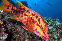 A Mexican Hogfish hams it up for the camera<br /> <br /> Shot in Mexico