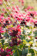 Exotic red flower blooms protrude from a wire fence in a garden. WATERMARKS WILL NOT APPEAR ON PRINTS OR LICENSED IMAGES.