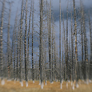 Burned Pine Tree Grove Storm Clouds - Yellowstone National Park - Lensbaby