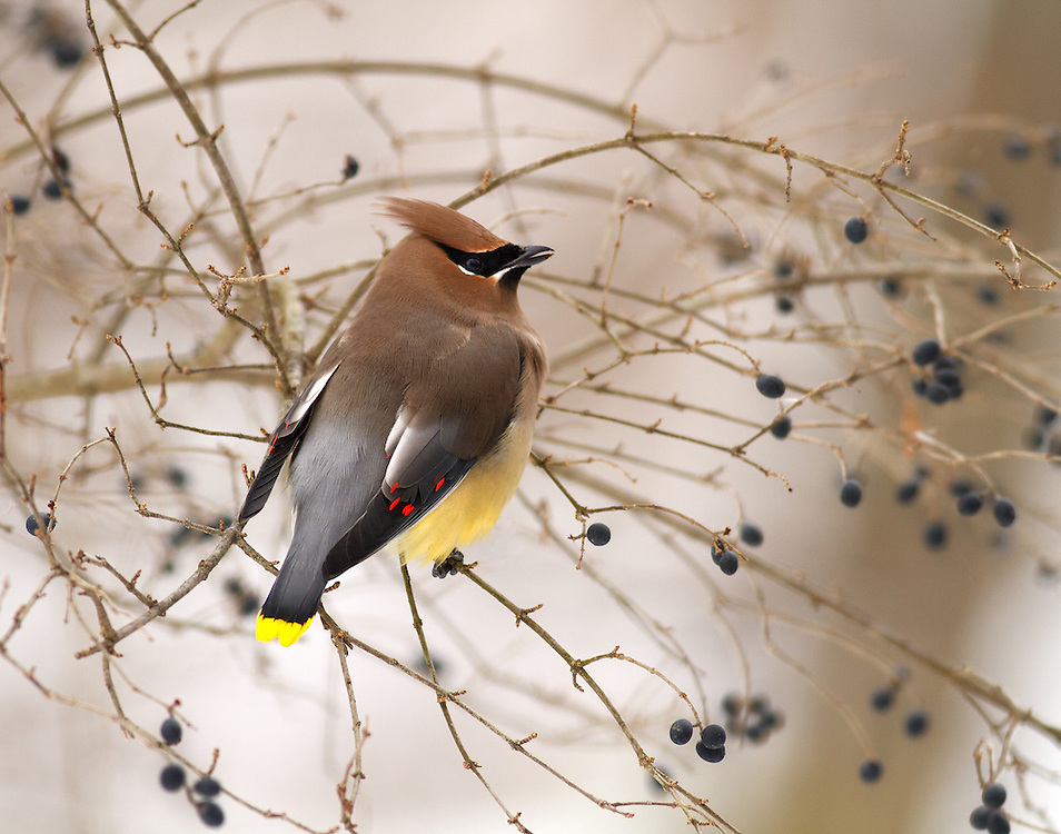 """Cedar Waxwing in the winter<br /> <br /> Available sizes:<br /> 12"""" x 18"""" print <br /> <br /> See Pricing page for more information. Please contact me for custom sizes and print options including canvas wraps, metal prints, assorted paper options, etc. <br /> <br /> I enjoy working with buyers to help them with all their home and commercial wall art needs."""
