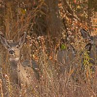 Mule Deer (Odocoileus hemionus) watch for predators on a hillside in Montana's northern Madison Range.