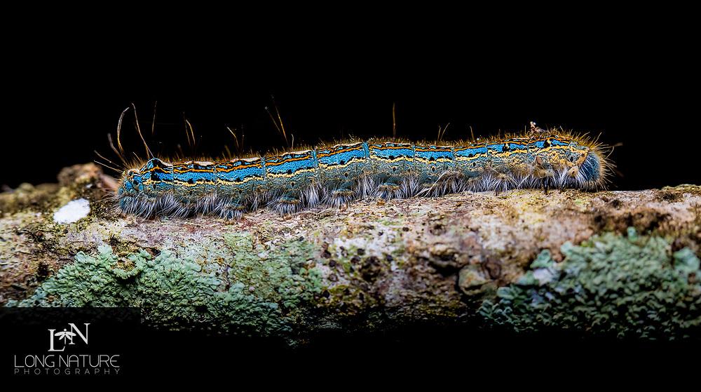Malacosoma disstria - forest tent caterpillar